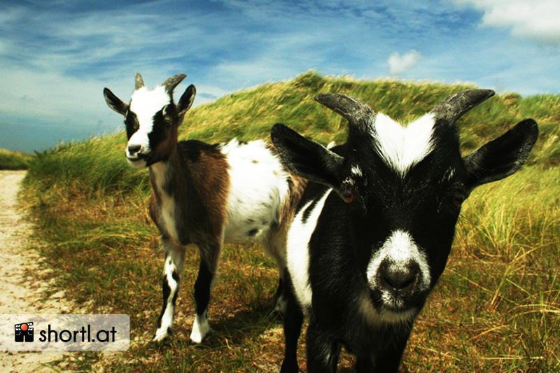 Ziegen auf der Insel Texel