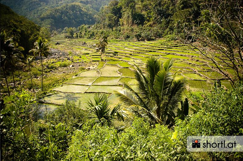 Reisfeld auf der Insel Flores in Indonesien
