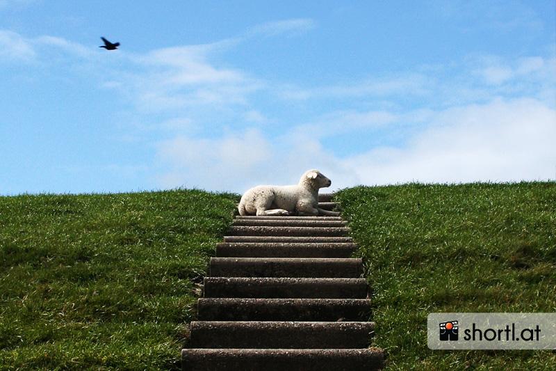 Ein Schaf auf der Insel Texel